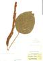 Acalypha hispida image