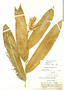 Heliconia aurantiaca Ghiesbr., Honduras, P. C. Standley 56717, F