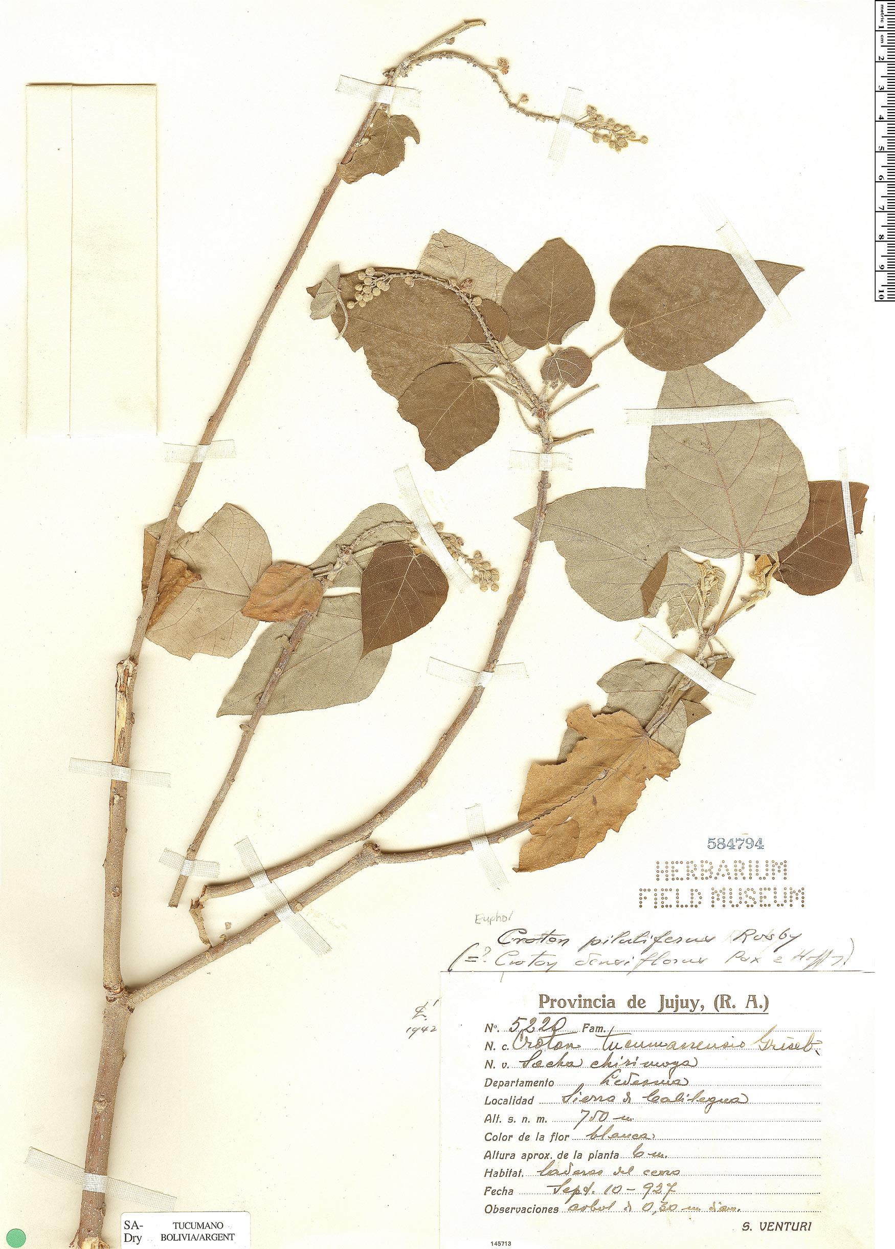 Specimen: Croton pilulifer