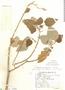 Croton pilulifer Rusby, Argentina, S. Venturi 5220, F
