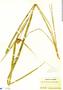 Rhynchospora cephalotes (L.) Vahl, Panama, S. Frost 139, F