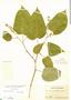 Croton billbergianus Müll. Arg., Panama, S. Frost 61, F