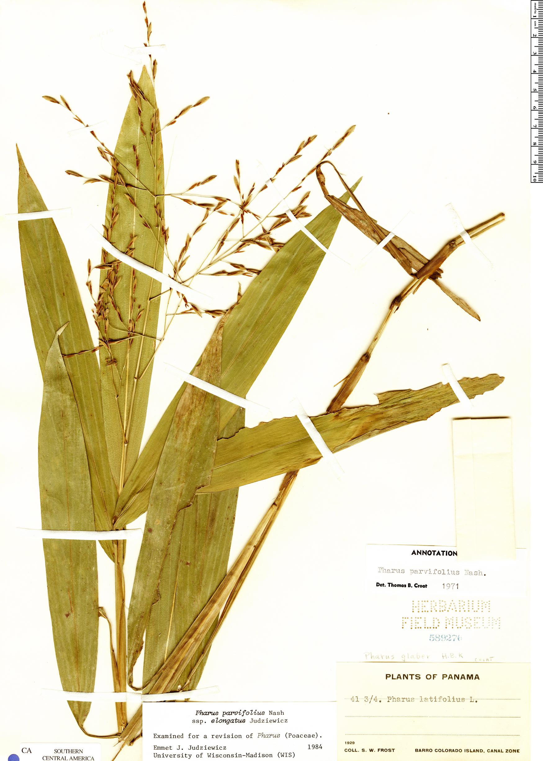 Specimen: Pharus parvifolius