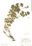 Urtica flabellata image