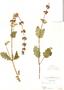 Salvia verbenacea, F. Herrera 850, F