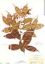 Myrcia splendens (Sw.) DC., Panama, H. F. Pittier 3901, F