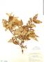 Myrcia splendens (Sw.) DC., Panama, H. F. Pittier 3361, F