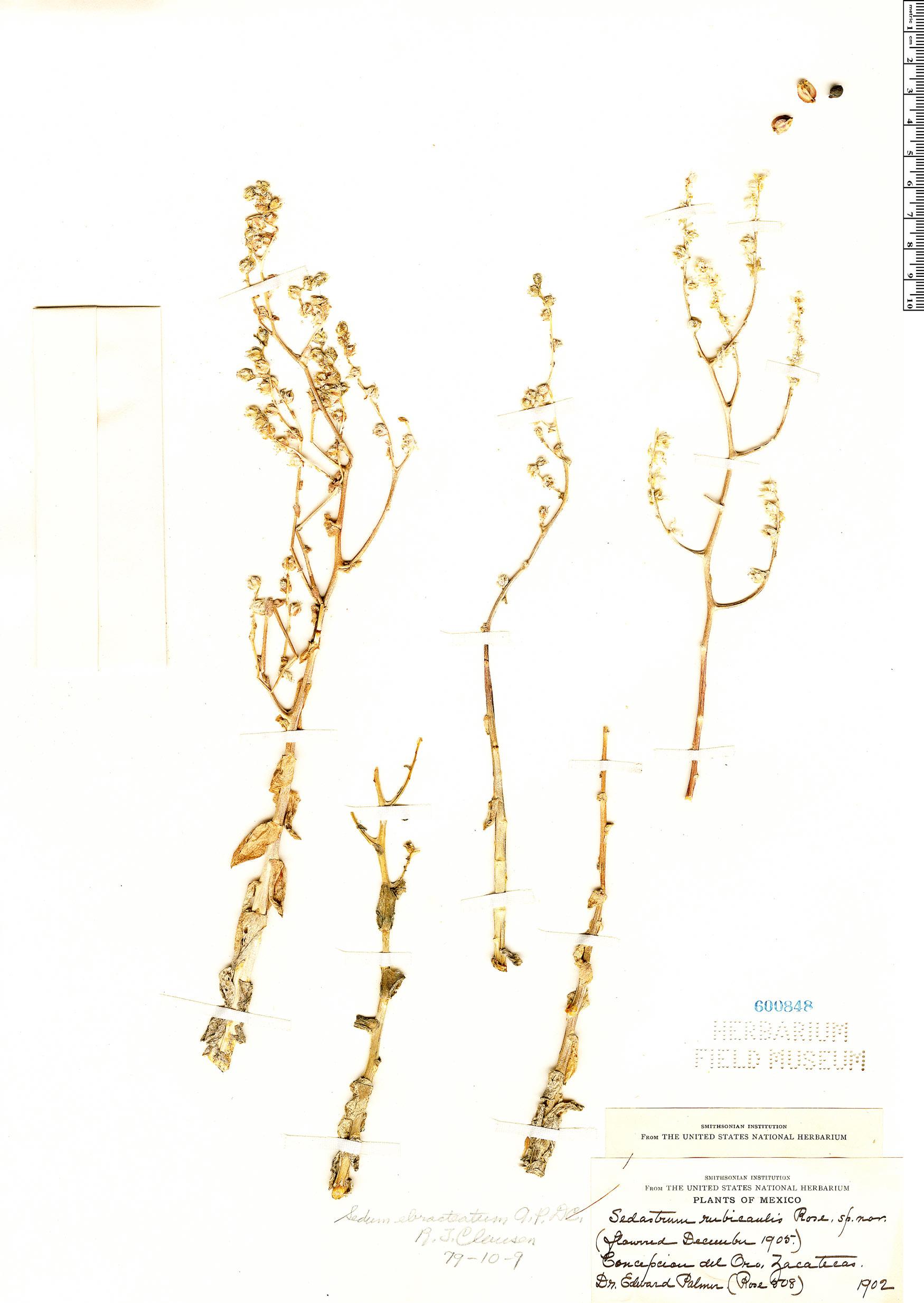 Specimen: Sedum ebracteatum