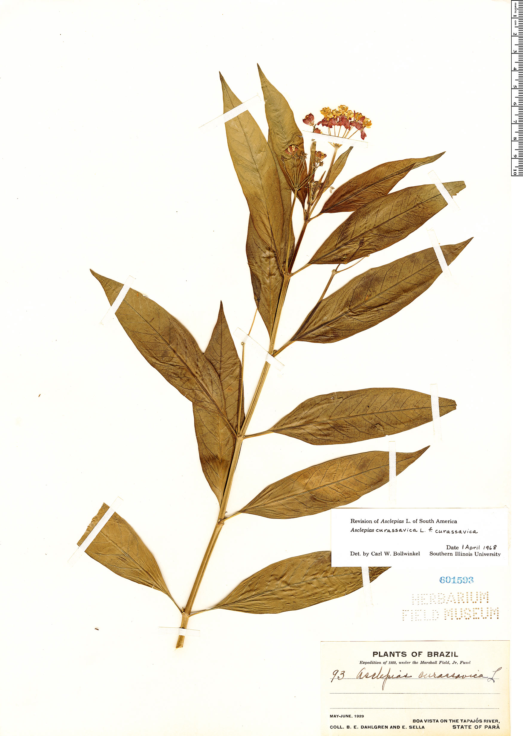 Espécime: Asclepias curassavica