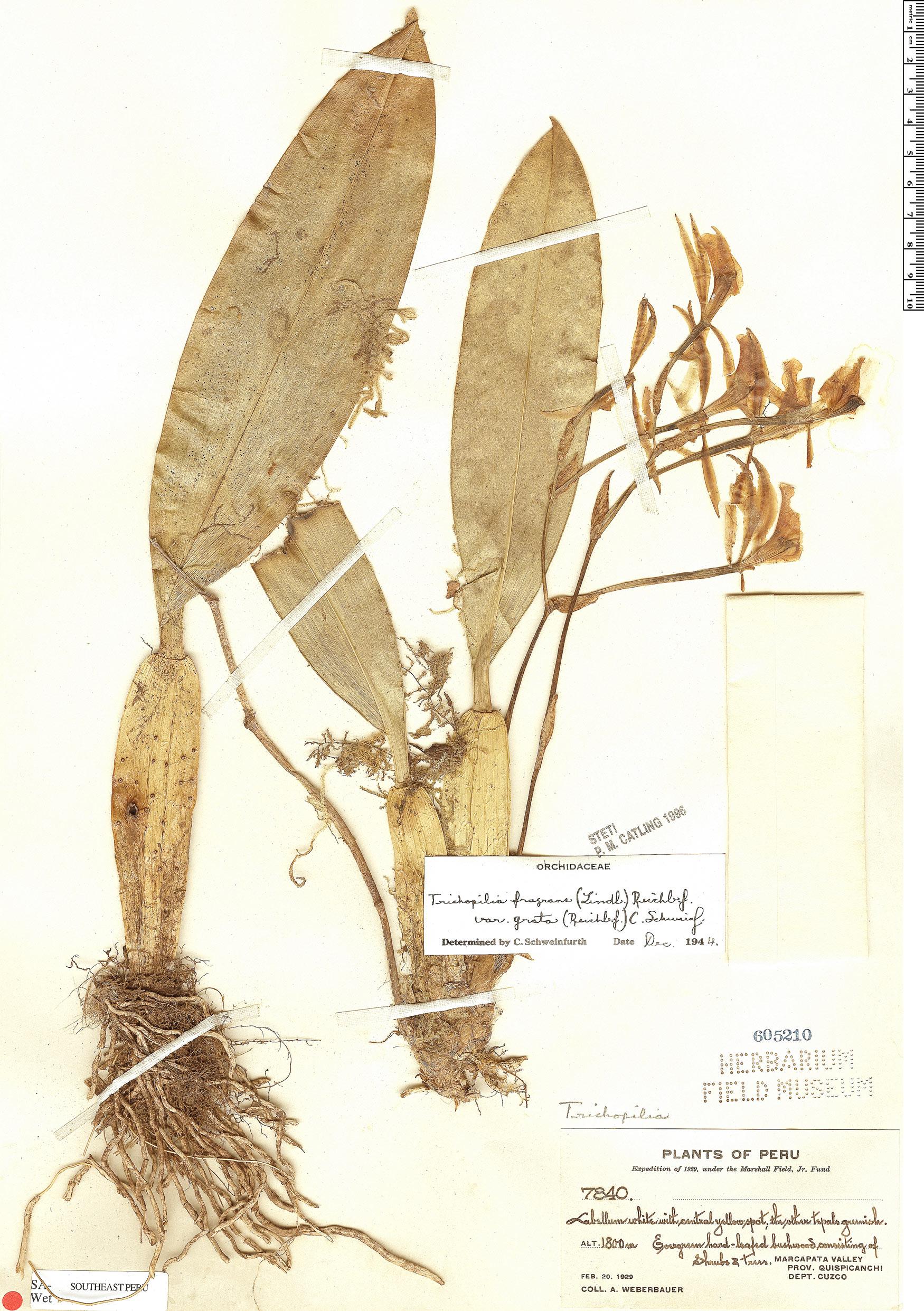 Specimen: Trichopilia fragrans