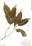 Psychotria tessmannii Standl., Peru, E. P. Killip 29657, F