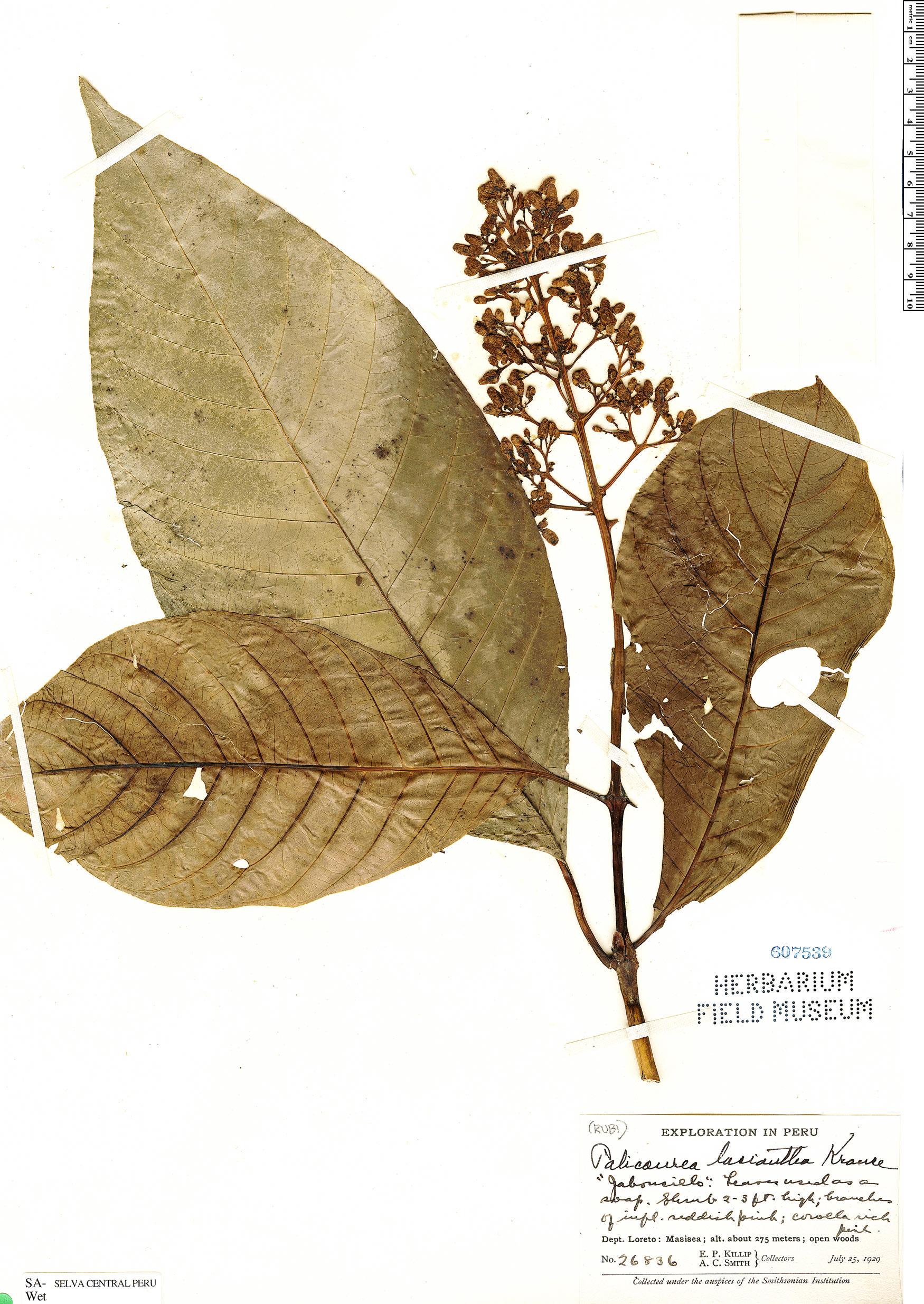 Specimen: Palicourea lasiantha
