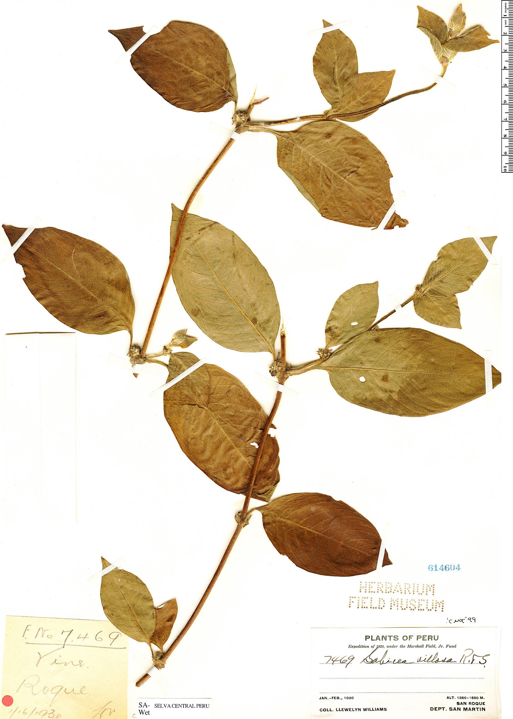 Specimen: Sabicea villosa