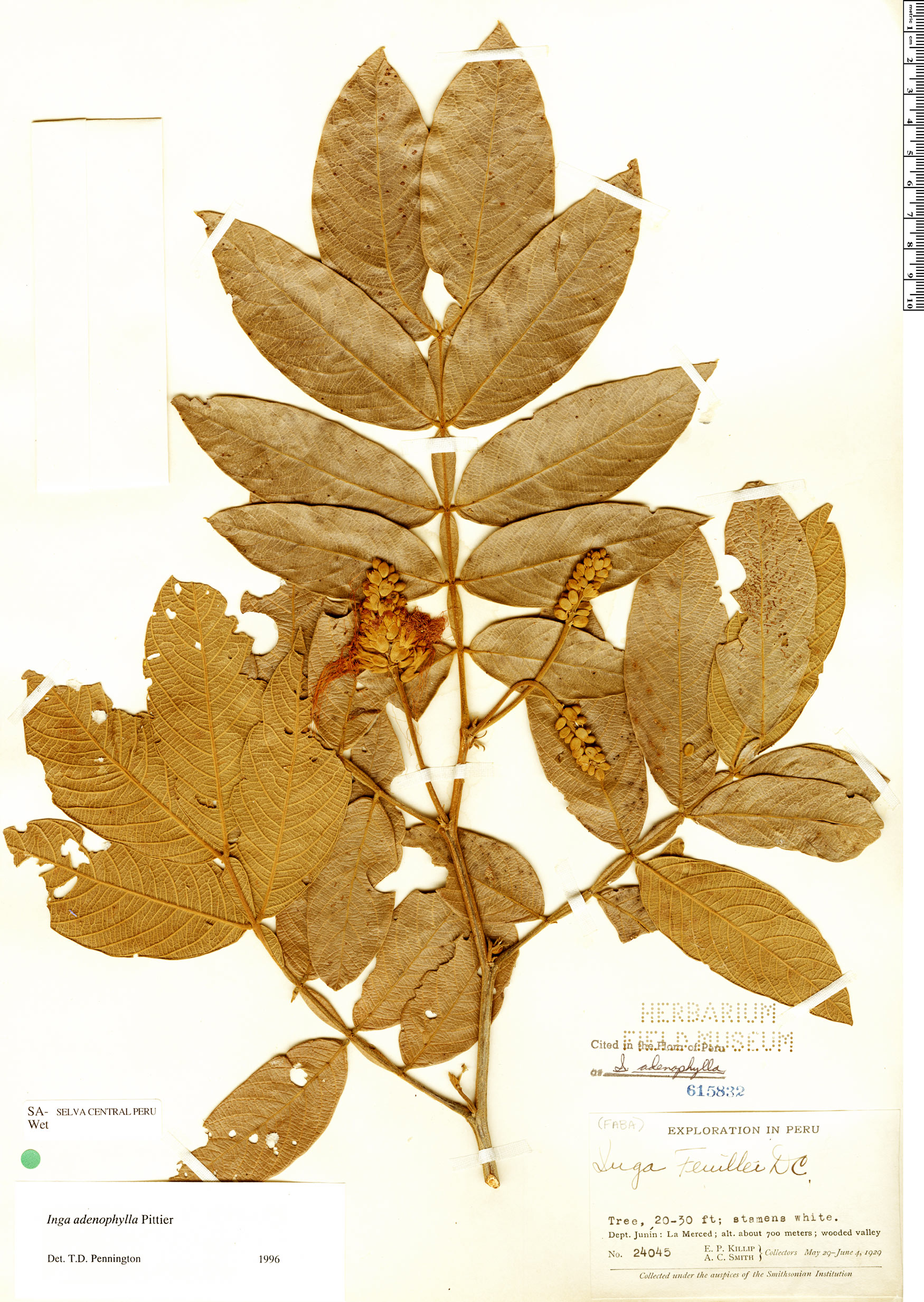 Specimen: Inga adenophylla
