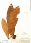 Naucleopsis ulei (Warb.) Ducke, Peru, E. P. Killip 28179, F