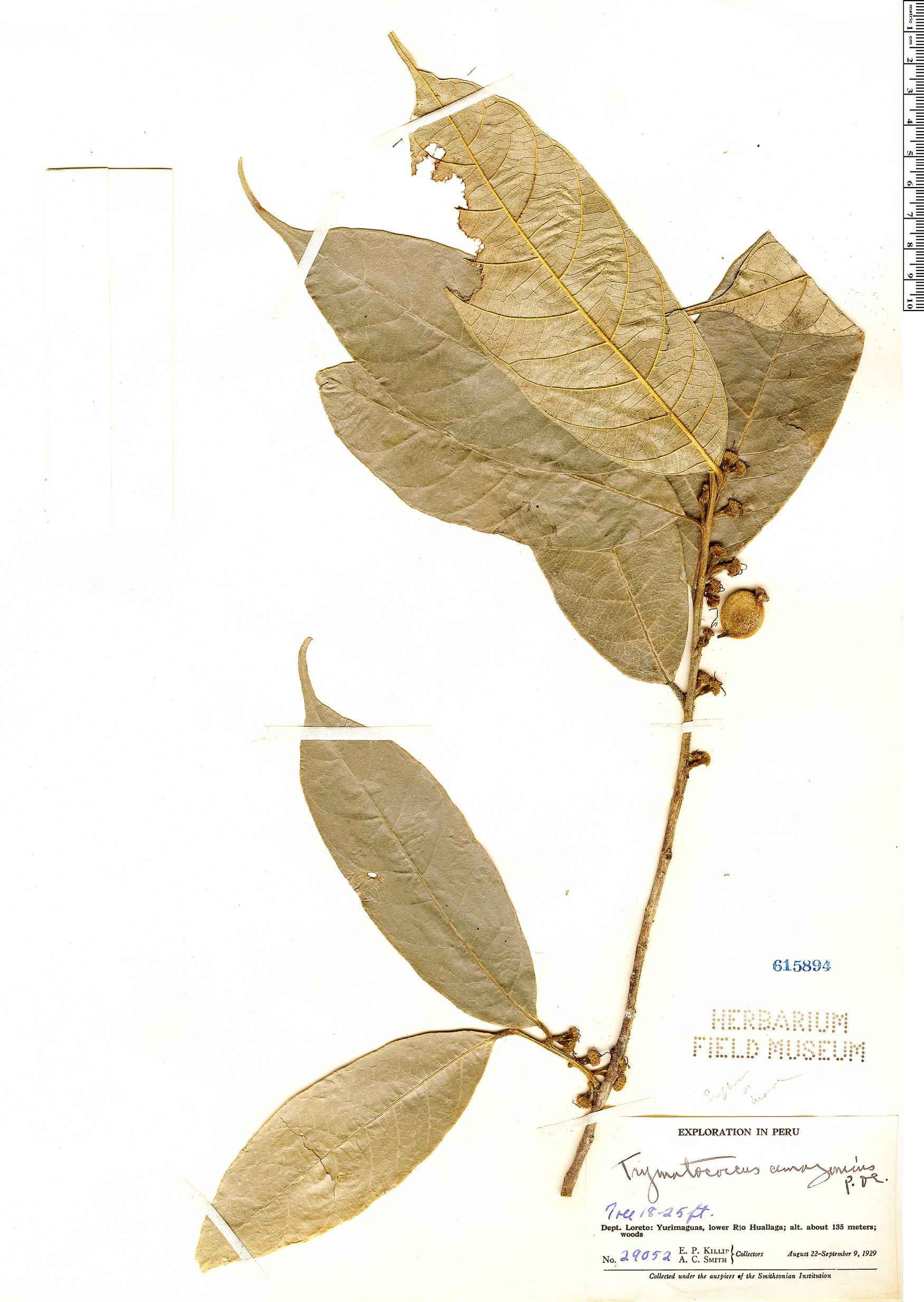 Espécime: Trymatococcus amazonicus