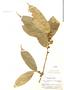 Trymatococcus amazonicus Poepp. & Endl., Peru, E. P. Killip 29052, F
