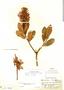 Gaiadendron punctatum (Ruíz & Pav.) G. Don, Peru, E. P. Killip 22296, F