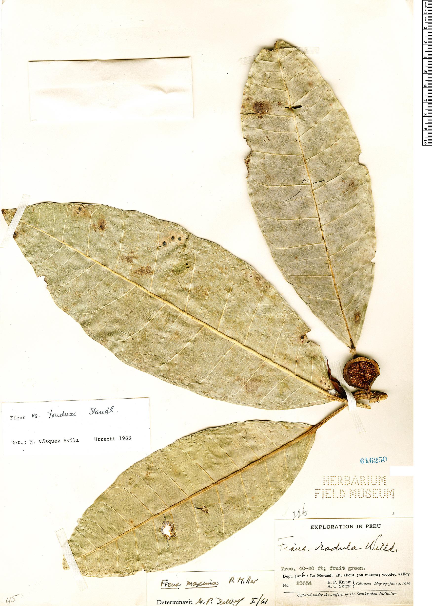 Specimen: Ficus tonduzii