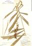 Aiphanes weberbaueri Burret, Peru, E. P. Killip 24608, F