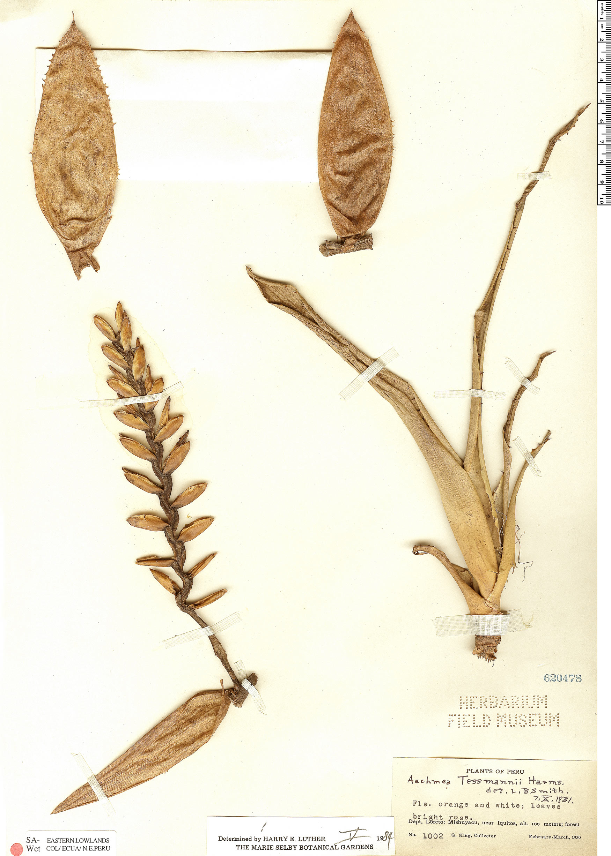 Espécimen: Aechmea tessmannii