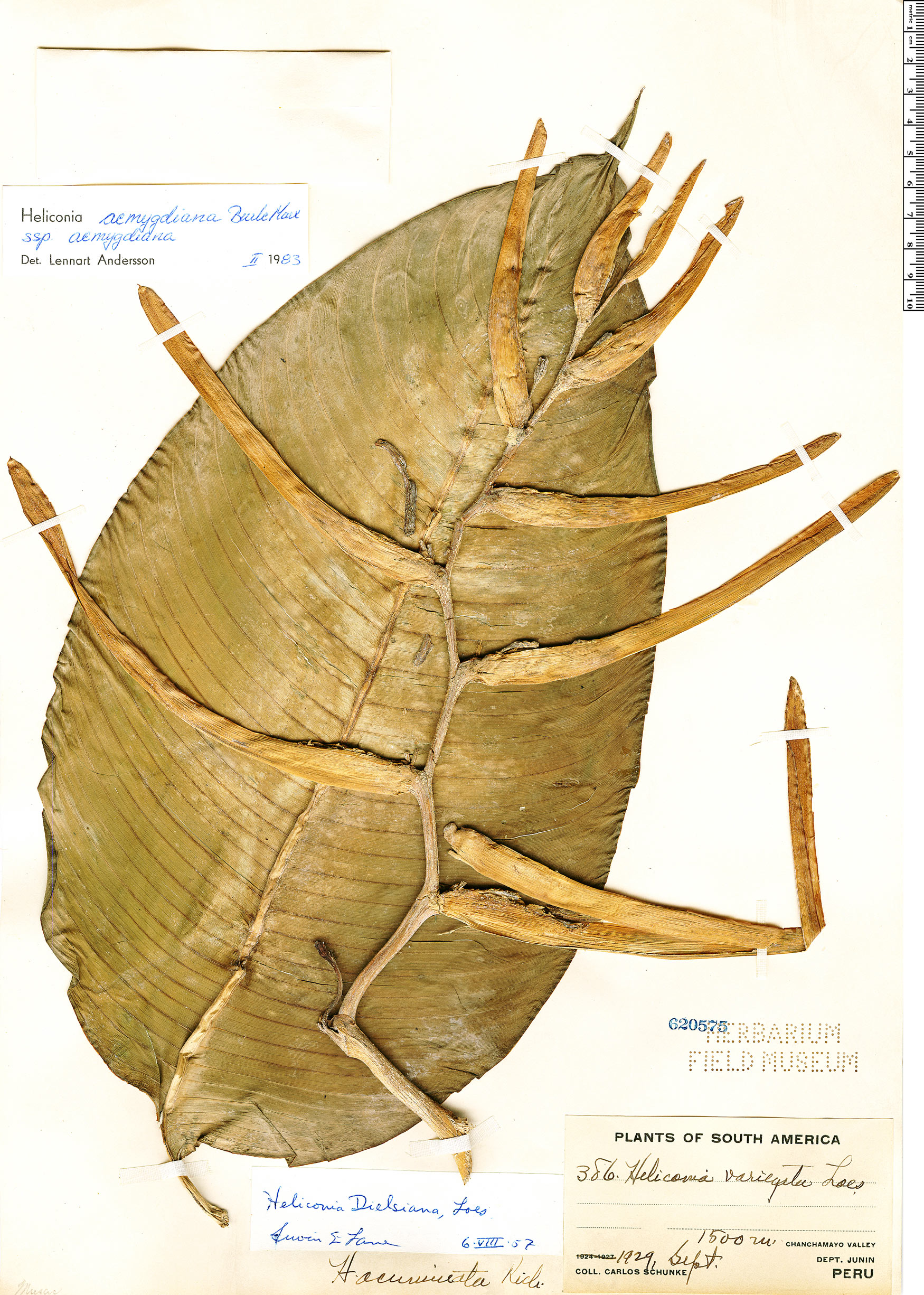 Specimen: Heliconia aemygdiana
