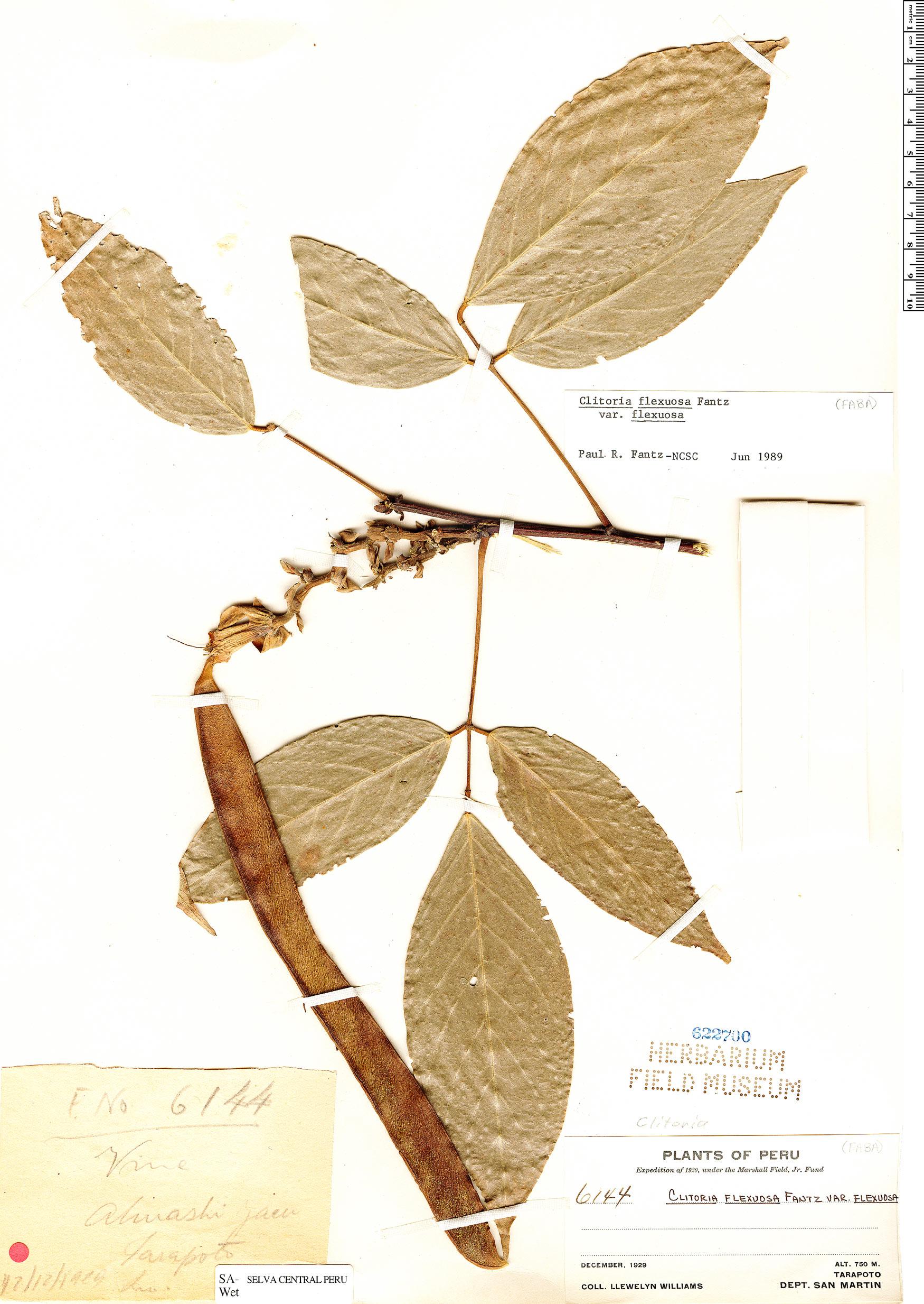 Specimen: Clitoria flexuosa