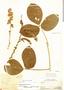 Dioclea virgata image