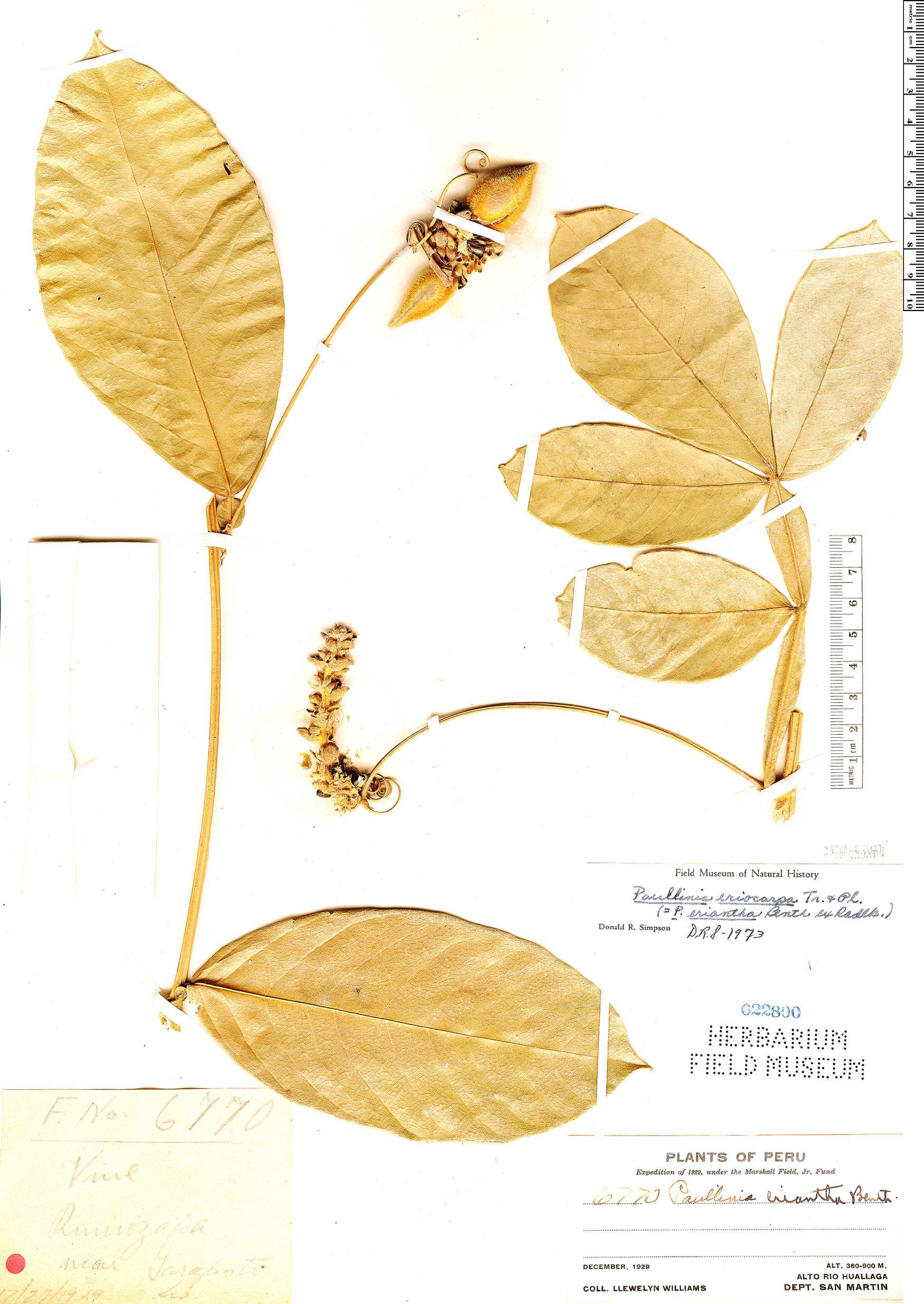 Specimen: Paullinia eriocarpa
