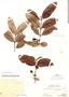 Psidium guajava L., Peru, Ll. Williams 5534, F