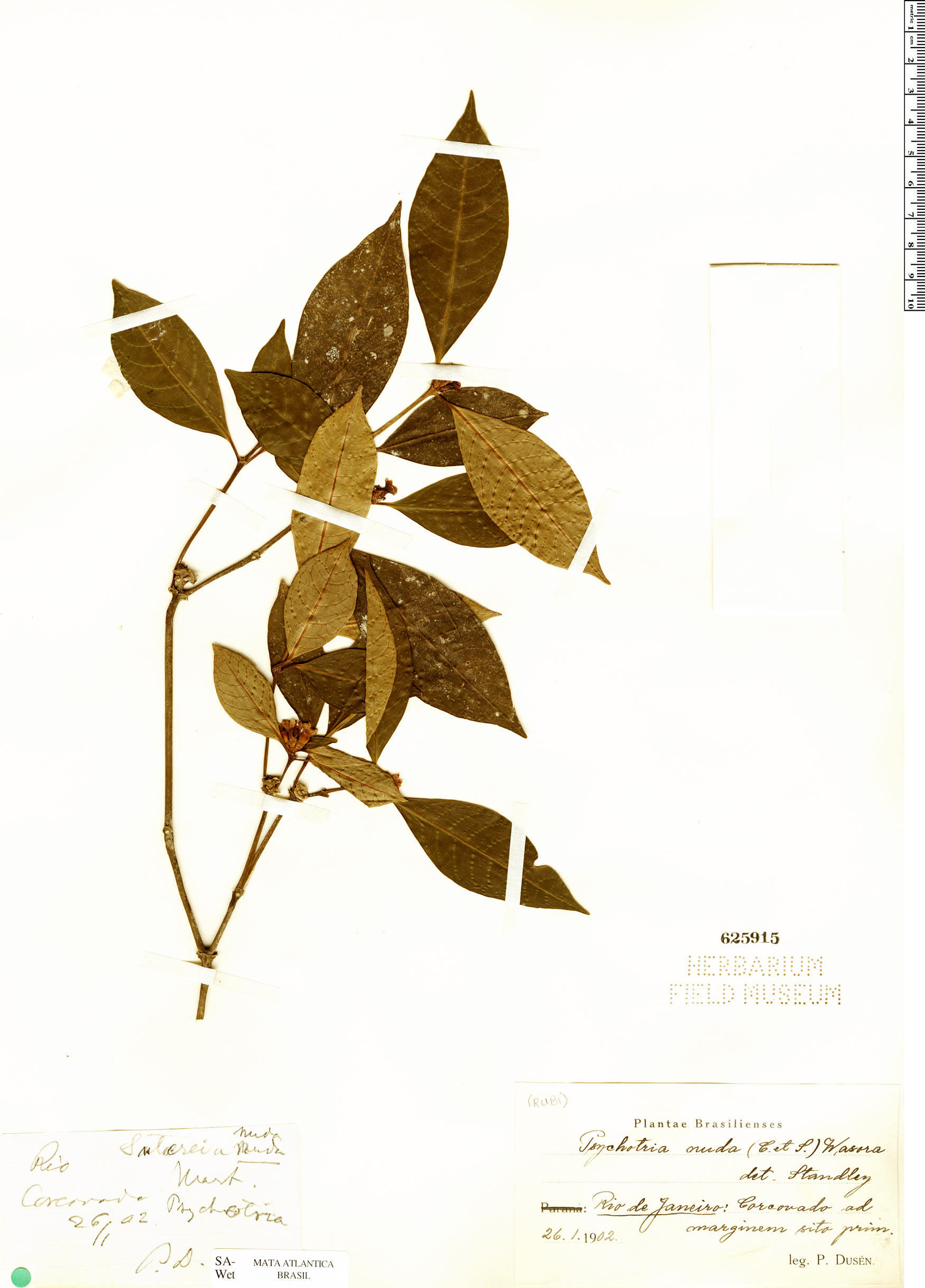 Espécimen: Psychotria nuda