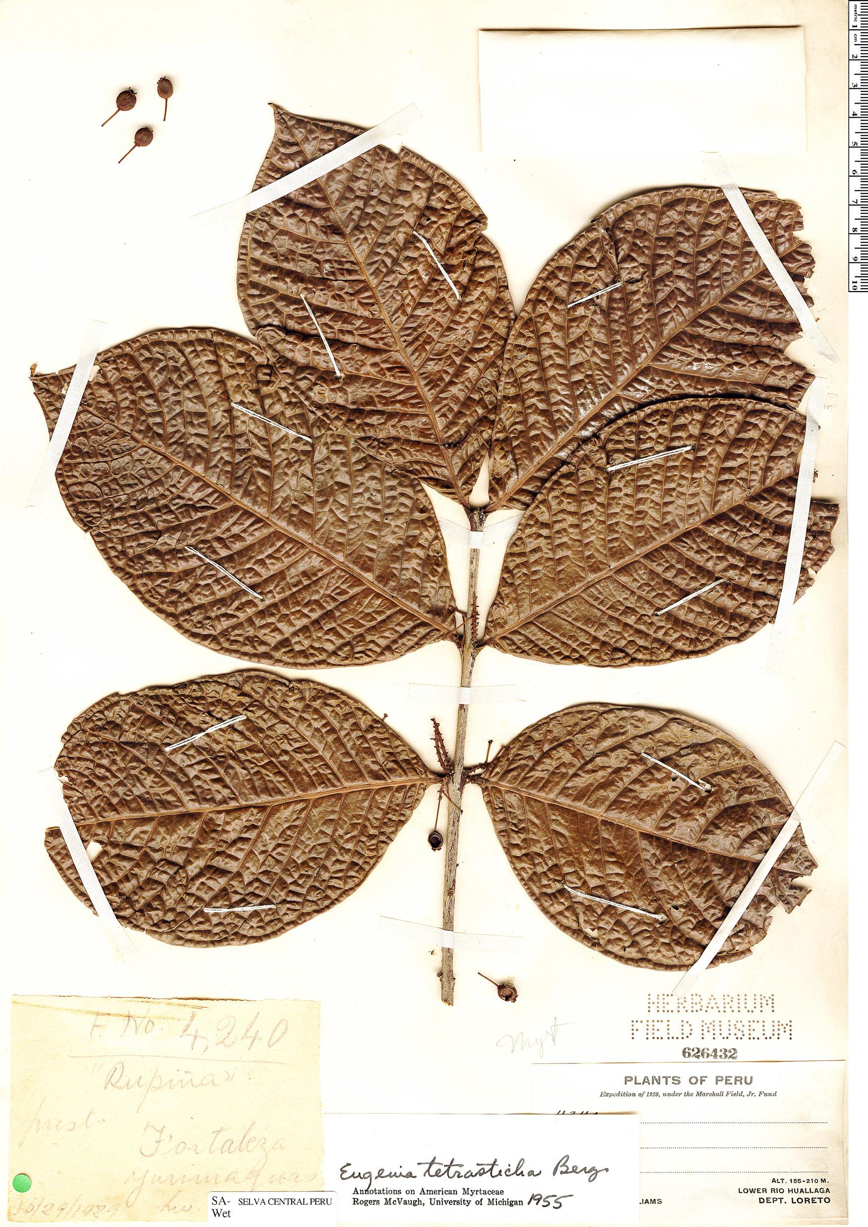 Specimen: Eugenia tetrasticha