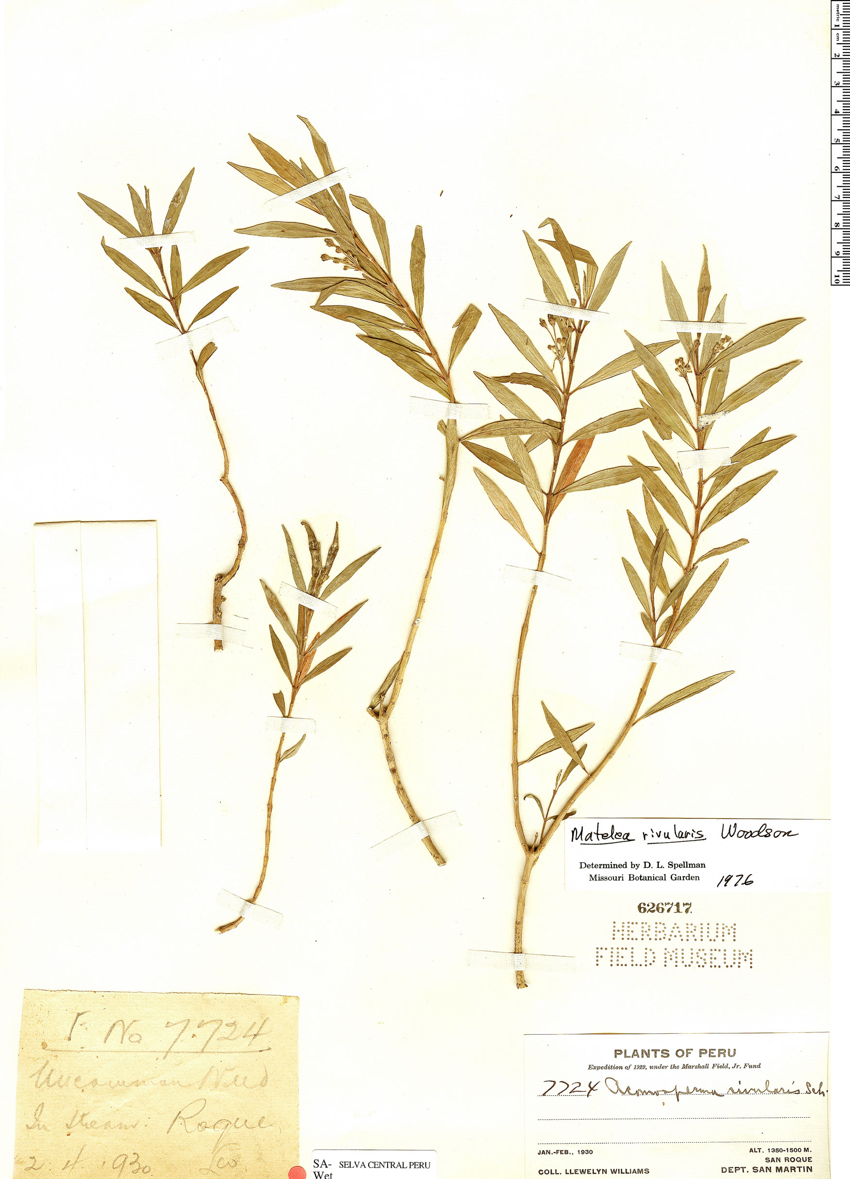Specimen: Matelea rivularis