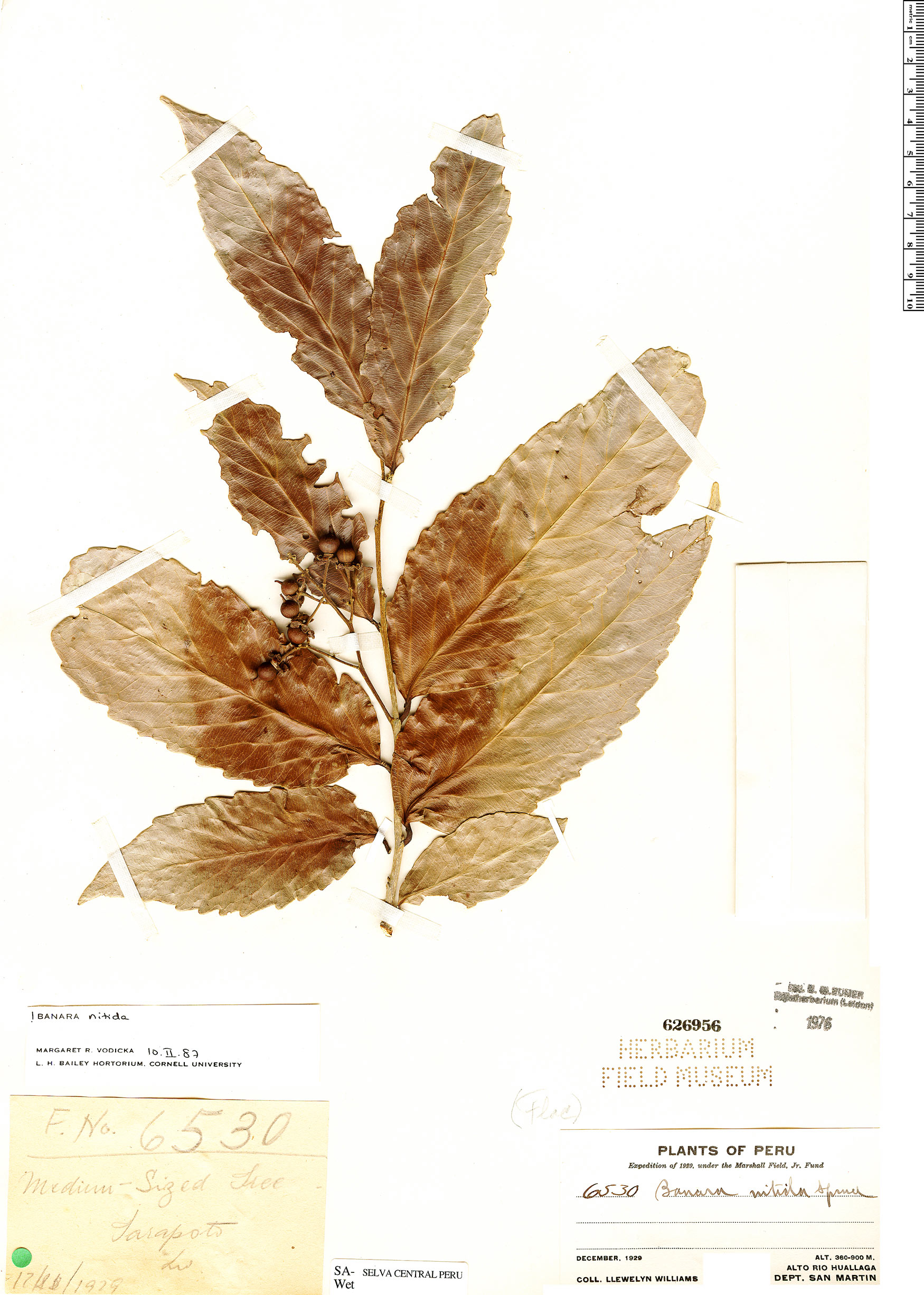 Specimen: Banara nitida