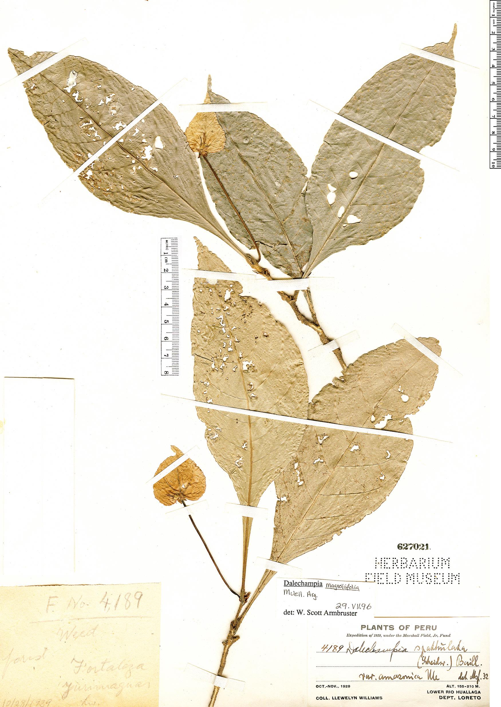 Specimen: Dalechampia magnoliifolia
