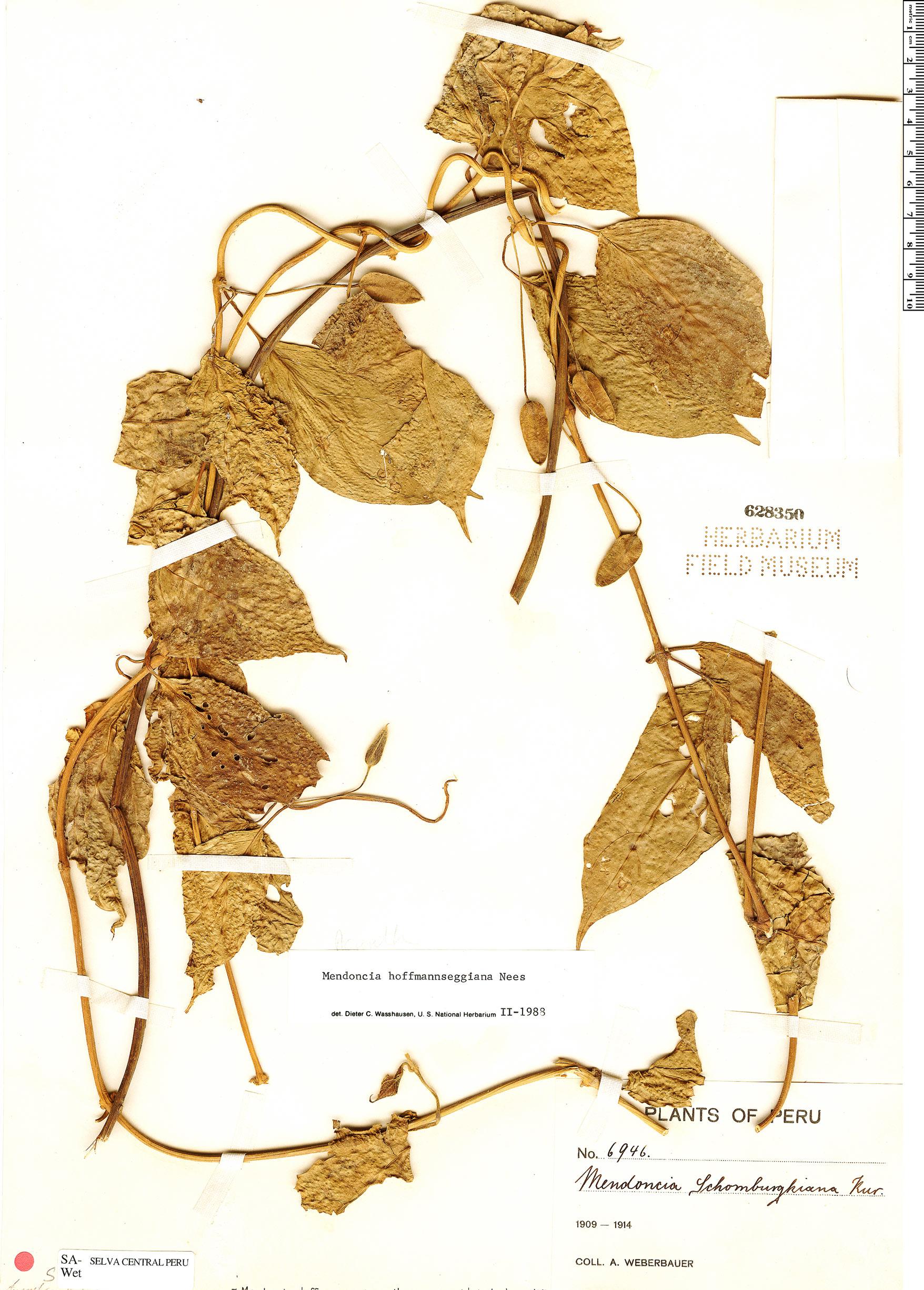 Specimen: Mendoncia hoffmannseggiana