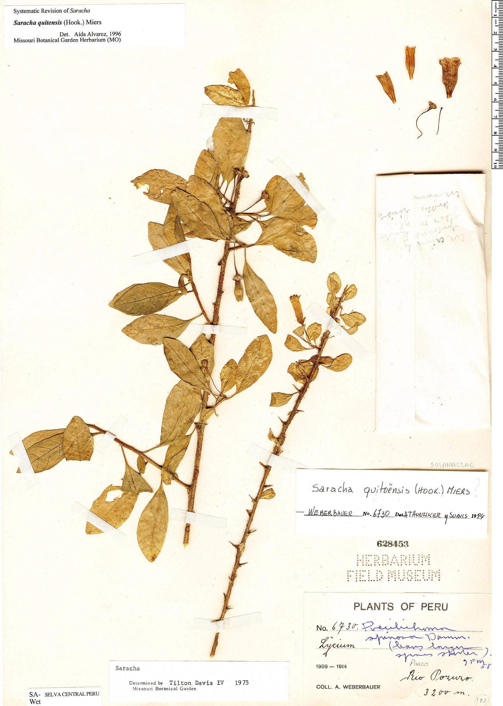 Specimen: Saracha quitensis