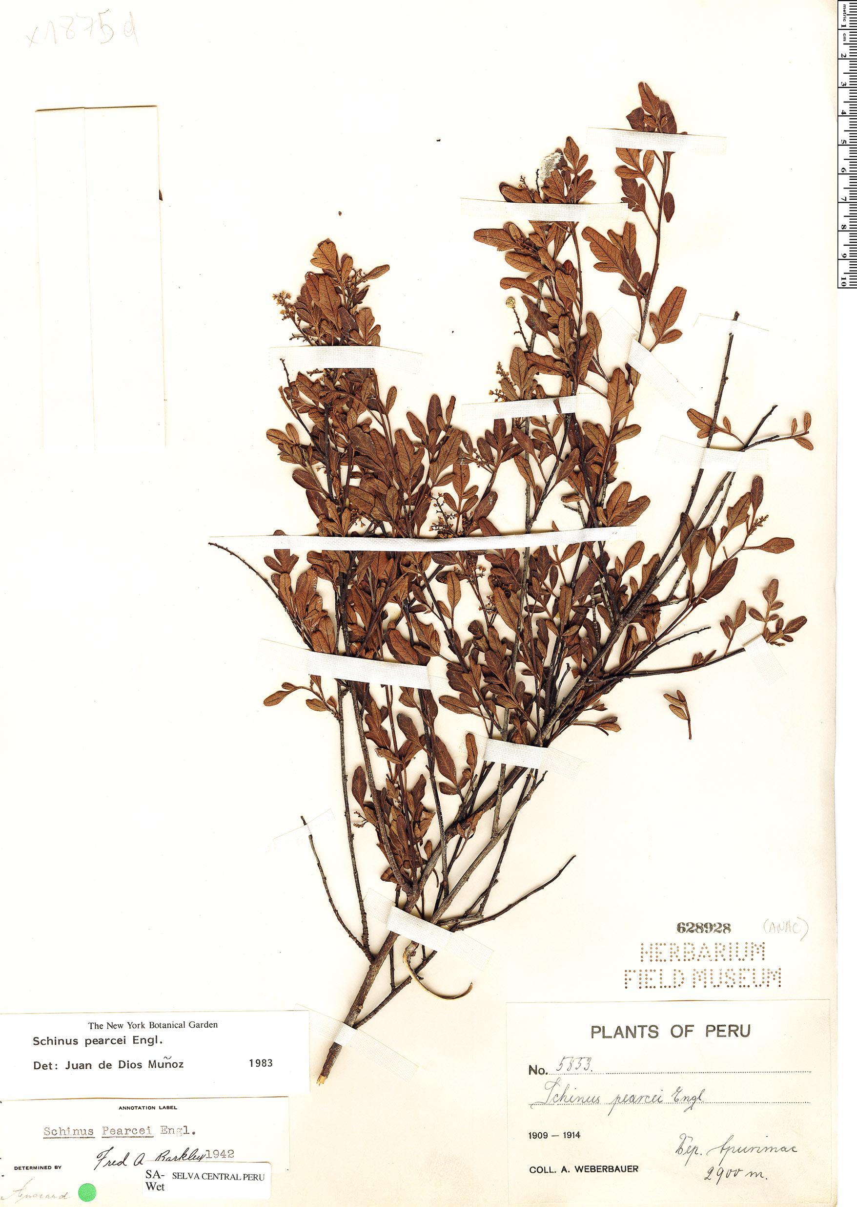 Specimen: Schinus pearcei