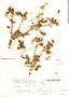 Polylepis racemosa image