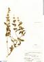 Salvia tiraquensis Briq., Bolivia, J. Steinbach 8200, F