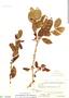 Ximenia americana L., Bolivia, J. Steinbach 8162, F