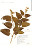 Salvia stachydifolia Benth., Argentina, S. Venturi 2659, F