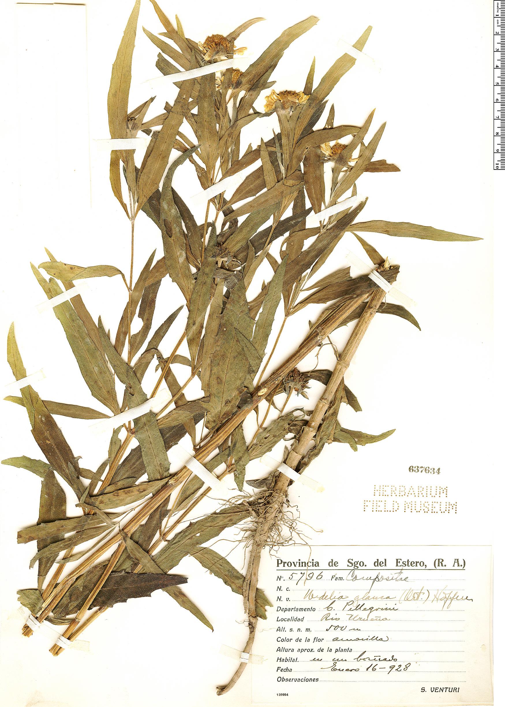 Wedelia glauca image
