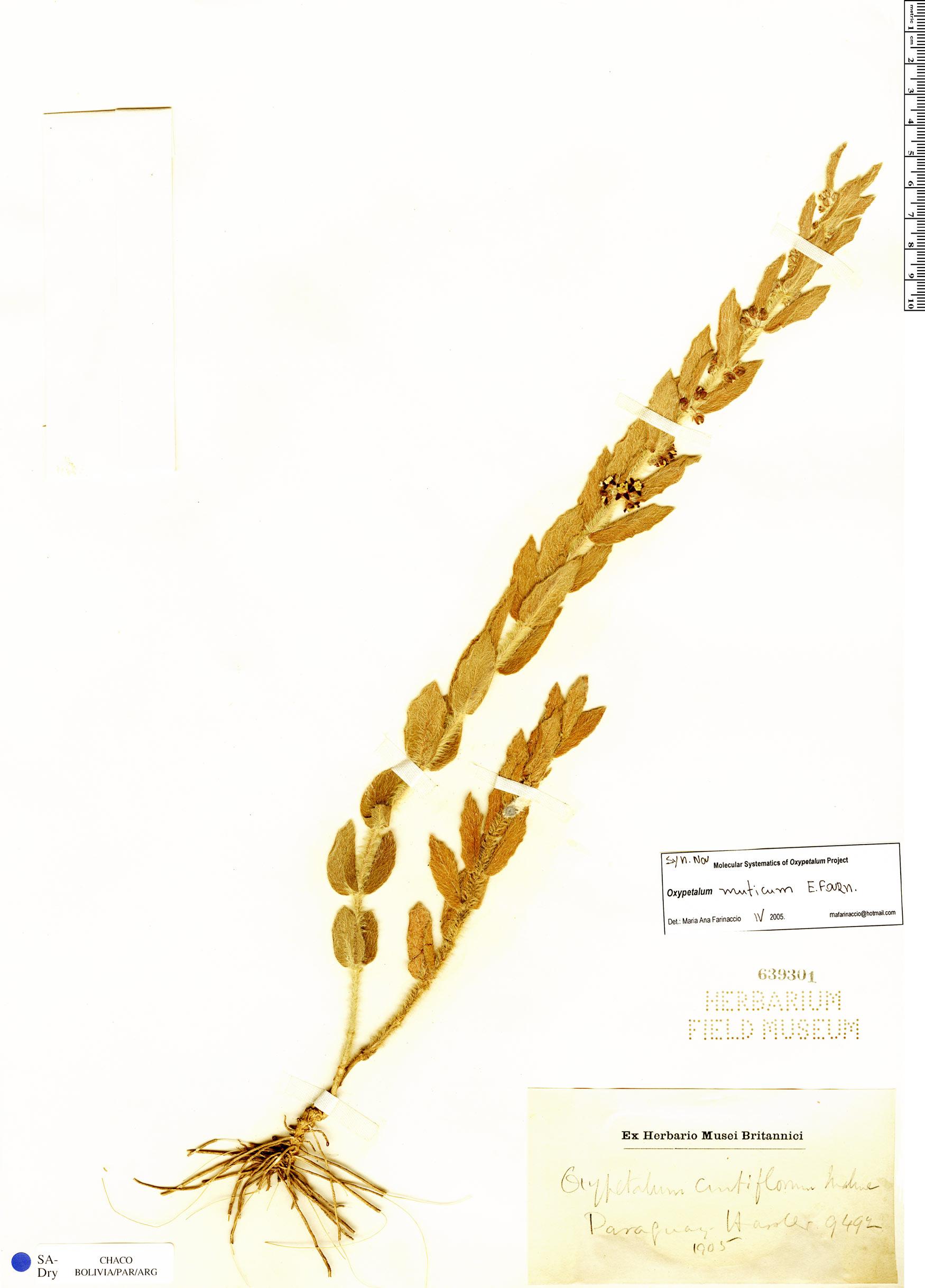 Specimen: Oxypetalum muticum