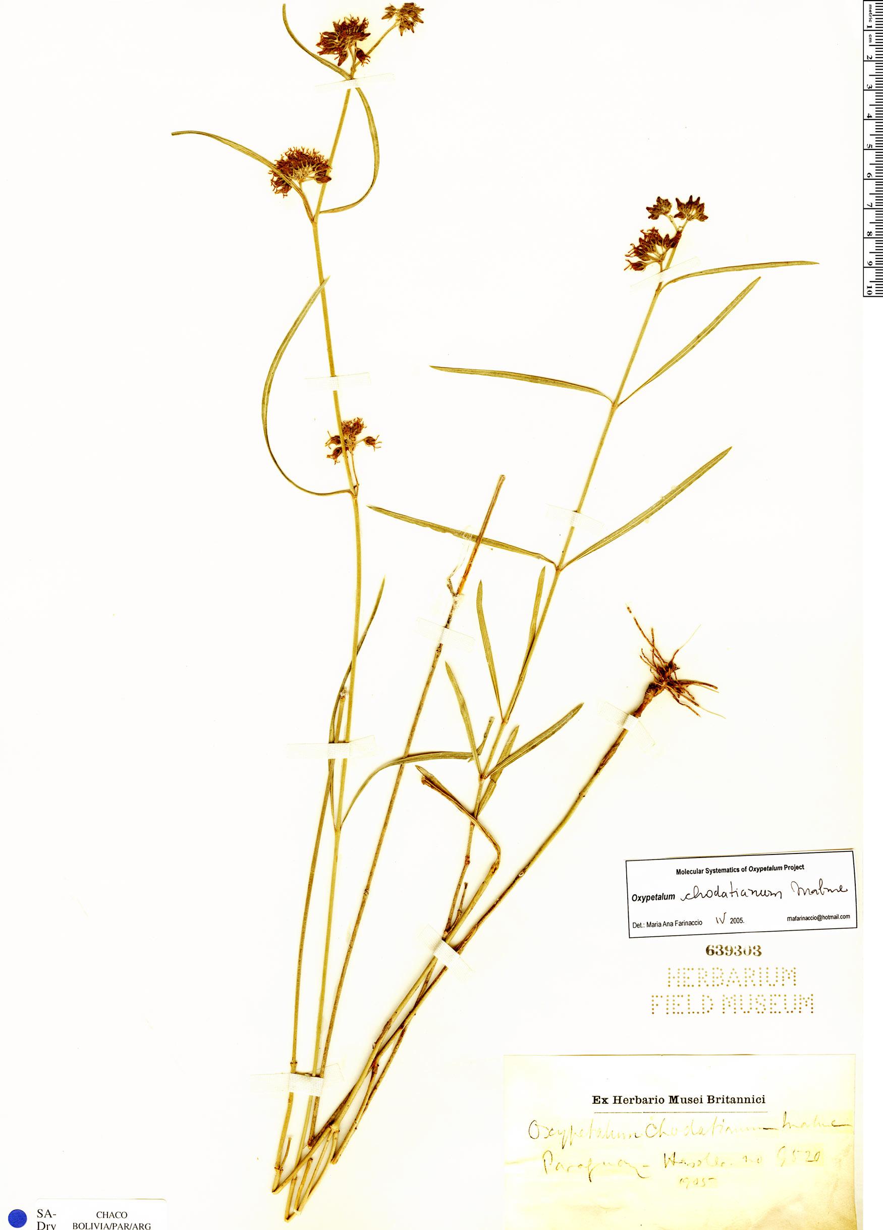 Specimen: Oxypetalum chodatianum