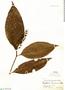 Psychotria tessmannii Standl., Colombia, G. Klug 1625, F