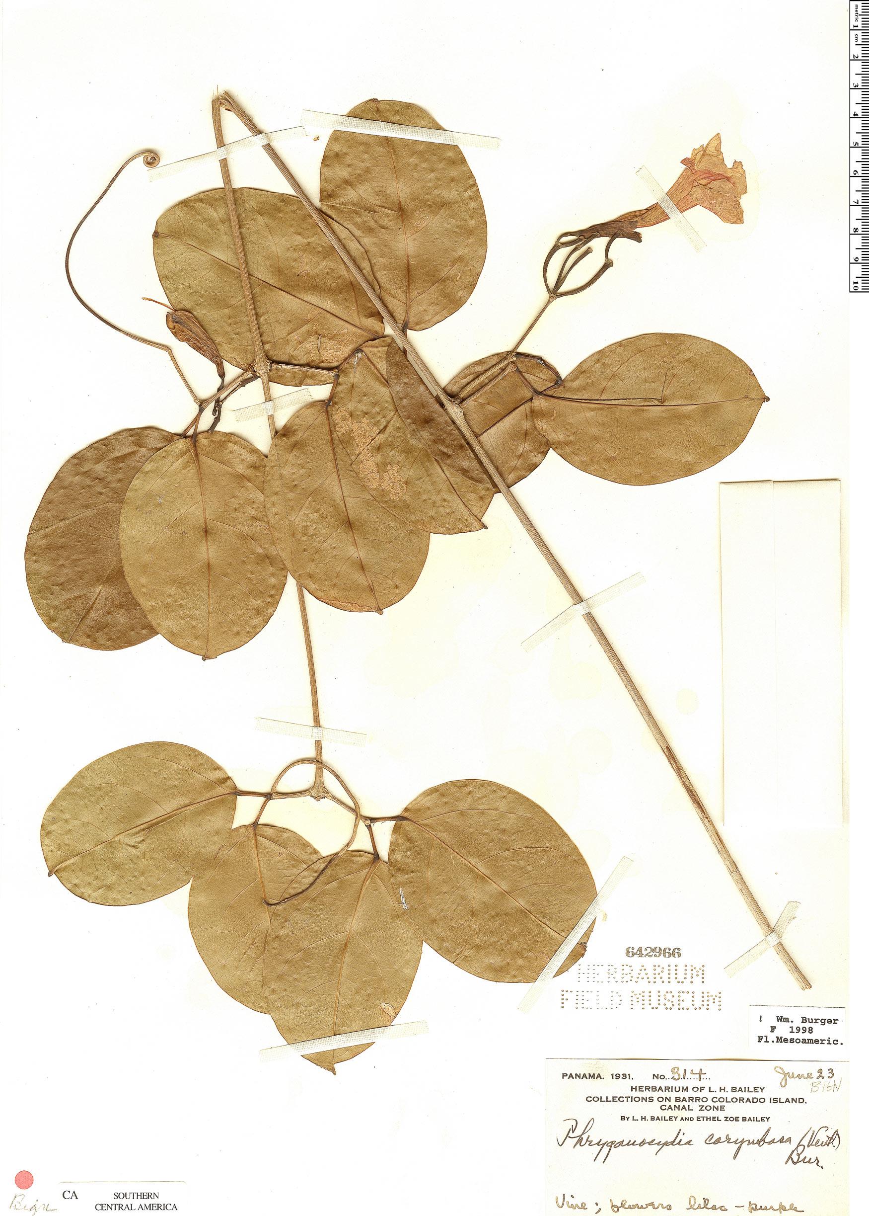 Specimen: Bignonia corymbosa