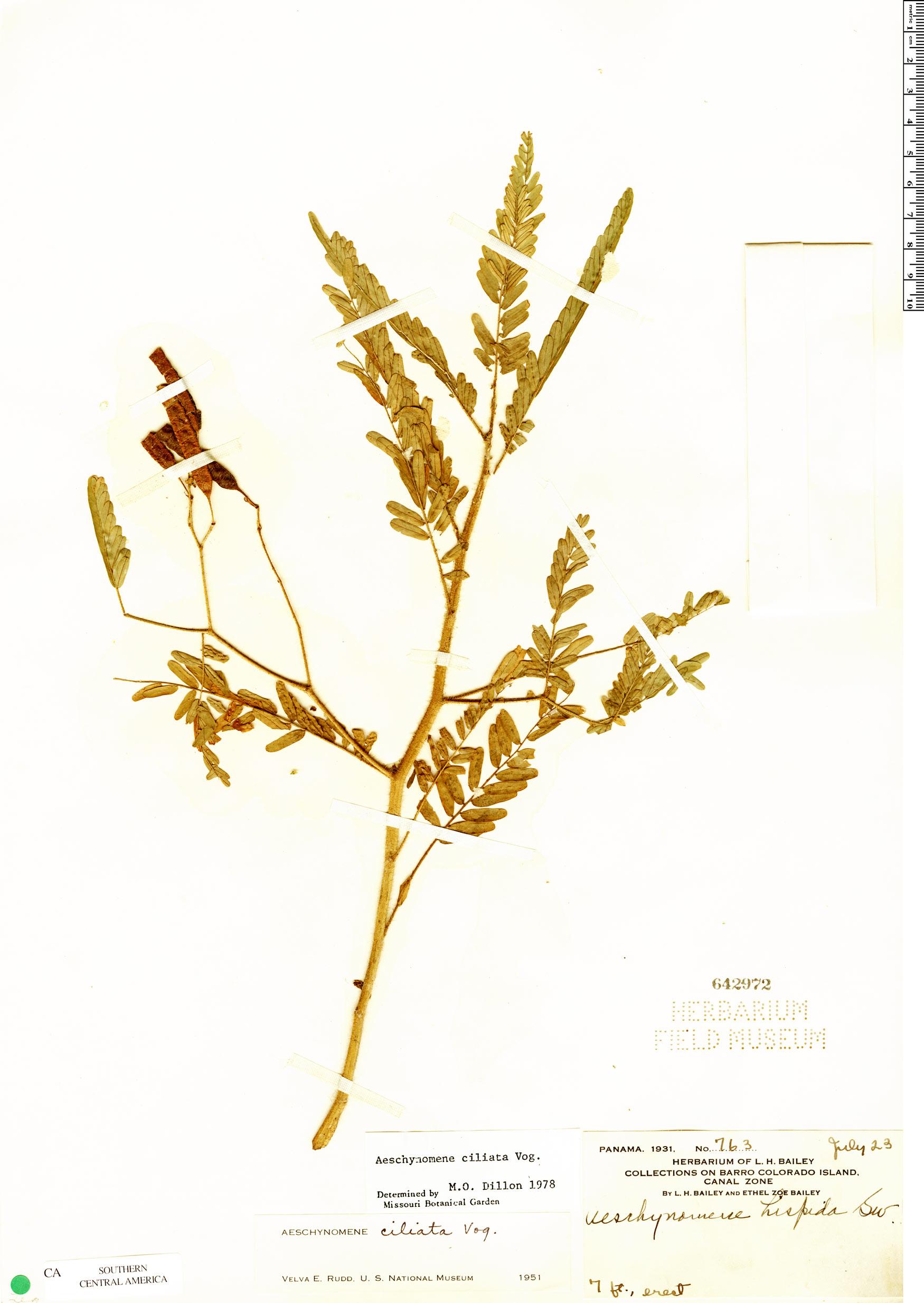 Specimen: Aeschynomene ciliata