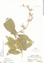 Petrea volubilis L., Panama, O. Shattuck 412, F