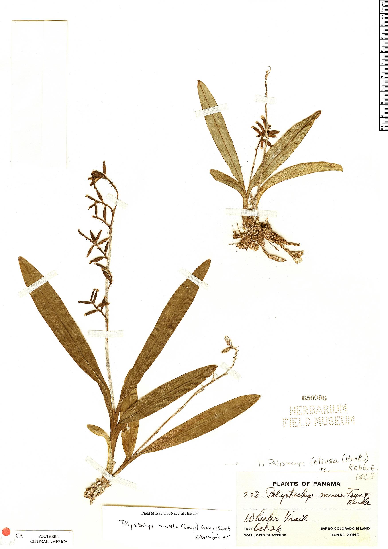 Specimen: Polystachya foliosa